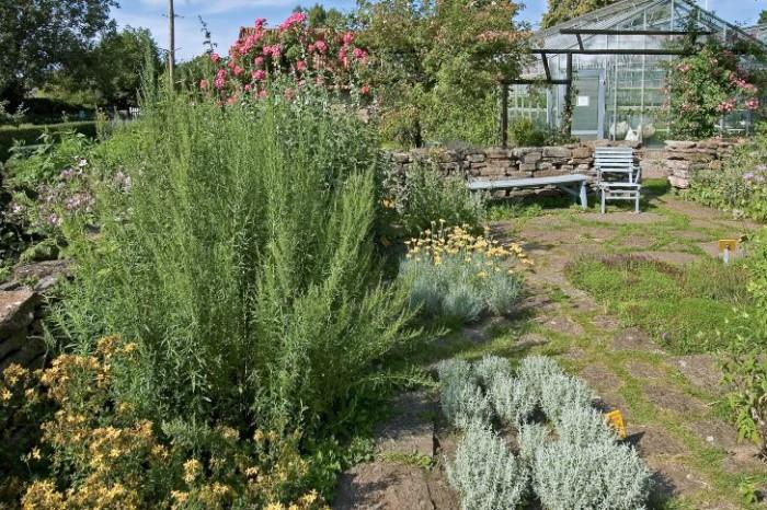 Många kryddväxter stortrivs i soligt och torrt läge medan en skuggigt och fuktig växtplats kan få dem att tyna bort och dö ut. Den torra soliga miljön passar också utmärkt för många av de växter som har silverludna blad som till exempel sandmalört, Artemisia stelleriana och lammöron, Stachys byzantina. Den silvergrå växten på bilden är den mindre härdiga grå helgonörten, Santolina chamaecyparissus. Bild från Capellagården på Öland.