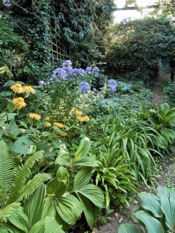 Under trädens skuggande kronor, i Ulf Trotzigs trädgård på Öland, breder de skuggälskande växterna ut sig. Det här är rätt plats för funkior, Hosta, av olika sorter, strutbräken, Matteuccia struthiopteris, svart nysrot, Veratrum nigrum, och det storväxta strålögat, Telekia speciosa, vars gula blommor vi ser böja sig ner över de lägre bladväxterna. En smal stig slingrar sig fram genom den djungellika växtligheten och för oss längre in i trädgården.