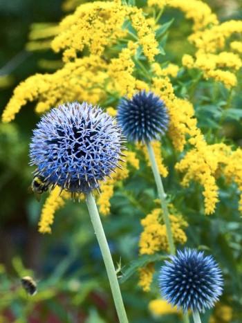 Blå bolltistel, Echinops bannaticus, och trädgårdsgullris, Solidago Canadensis-gruppen, skapar en kontrastfull kombination vad gäller både färg och form. Gullrisets täta blomställningar ger också en enhetlig och effektfull bakgrund till bolltistelns uppseendeväckande taggiga skönhet som kommer bäst till sin rätt när den kombineras med växter som inte är lika iögonfallande som den själv är.
