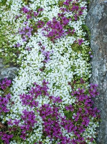 I en klippskreva hemma hos Karin wilhelmsson trivs rosa och vit rosenbräcka, Saxifraga Arendsiigruppen.