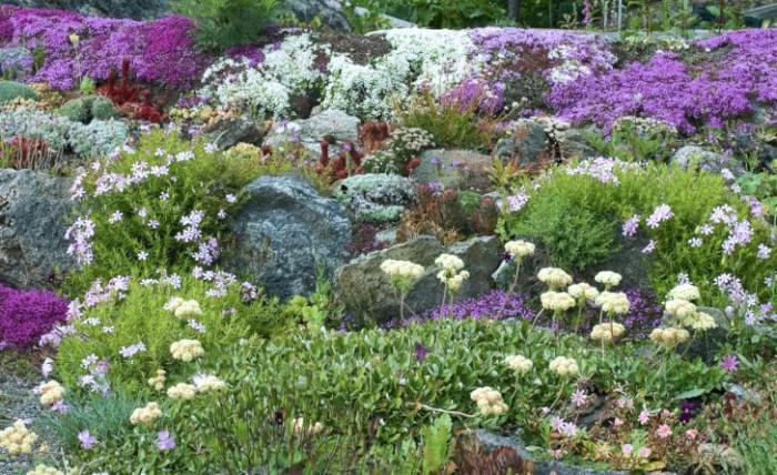 Andra torktåligaperenner som mår bra på den här typen av växtplats ärbergnejlika, Dianthus gratianopolitanus, trädgårdslewisia,Lewisia Cotyledon-gruppen, och purpurbräcka, Saxifragaoppositifolia.