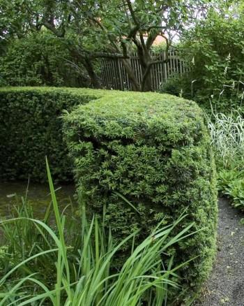 Idegran, Taxus × media 'Hilli'