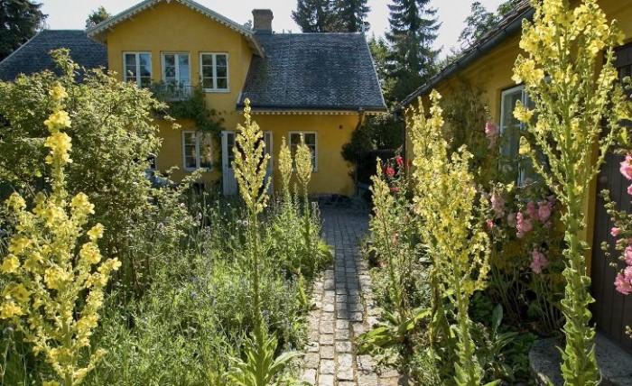 Ståtliga jättekungsljus, Verbascum olympicum, trivs i det soliga och magra läget på Maryhills kullerstensgård i Lund. Här frodas också mängder av andra örter som villigt frösår sig från år till år. Blåklint, gulmåra, cikoria, blåklockor, prästkragar och vallmo kan man till exempel också hitta i denna ljuvligt vackra blomstermatta som dock kräver mycket rensningsarbete för att hållas i detta utomordentliga skick. Till höger i bilden syns vita och rosa stockrosor som växer upp längs sidobyggnadens vägg.