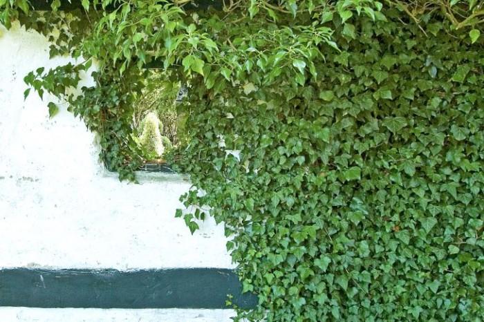 Murgröna, Hedera helix