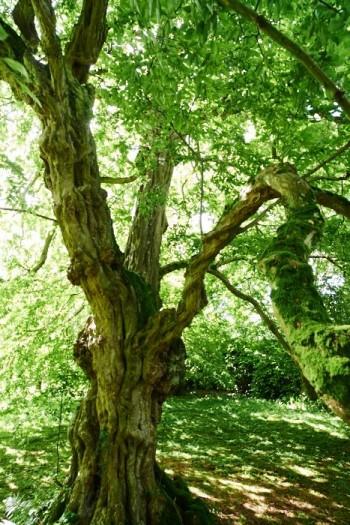 Möjligen finns Englands äldsta hängande avenbok i Sezincote.