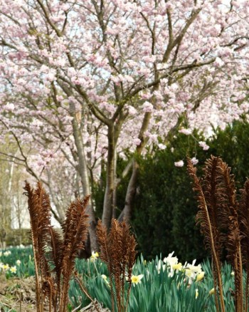 Det finns perenner som inte bara täcker lökväxterna efter blomning utan även i visset tillstånd är tjusiga som vårkompanjoner. Strutbräken inte bara döljer vissen blast utan är i sig tjusig även i visset tillstånd. I bakgrunden prydnadskörsbäret 'Accolade'.