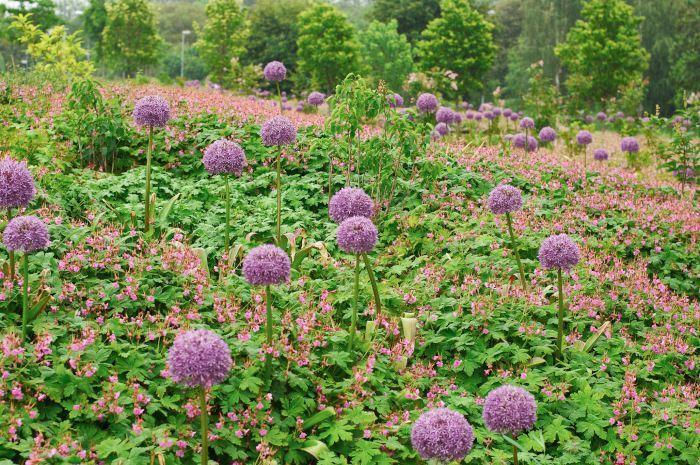 Den formmässigt vackra Allium 'Globemaster' ska inte klippas ner direkt efter blomning. Låt dem stå kvar som utblommade tills de säckar ihop i mitten av sommaren – blombollarna övergår först till grönt innan de blir bruna. Den matchande rosablommande flocknävan, Geranium macrorrhizum, döljer stora delar av alliumens tidigt vissnande bladverk.