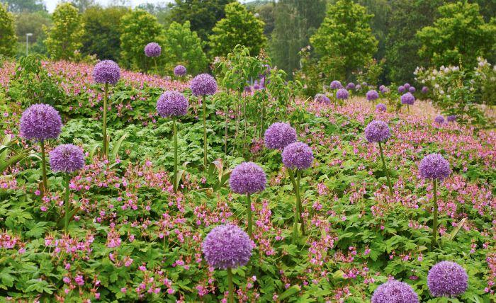 Purpurlökens, Allium x hollandicum 'Purple Sensation', lila bollar som sticker upp ur fältet av rosalilablommande flocknäva, Geranium macrorrhizum 'Ingwersen's Variety', är en häpnadsväckande vacker kombination som har sin höjdpunkt i mitten av juni. Det här är en komposition för soliga till halvskuggiga lägen med väldränerad och ganska näringsrik jord för att purpurlöken ska utvecklas bra. Flocknävan klarar alla lägen och de flesta jordar bra. Den tål dessutom torka.