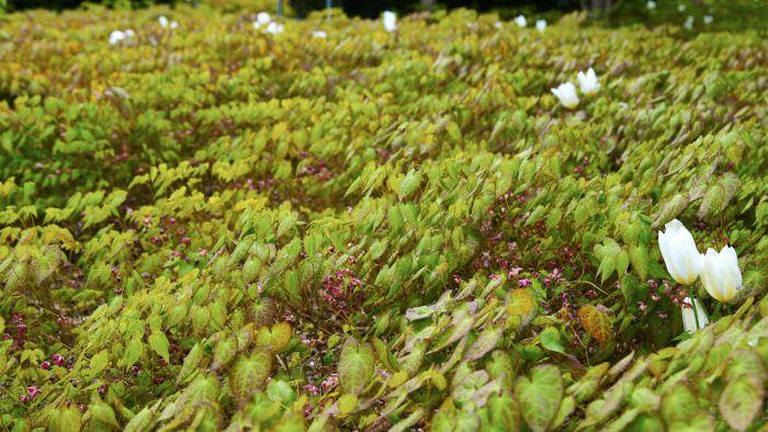 Till de absolut charmigaste marktäckarna att kombinera med lökväxter hör röd sockblomma, Epimedium × rubrum. Upp mellan bladen reser sig den suveräna kejsartulpansorten 'Purissima', som överlever många år och blommar länge även när solen gassar.