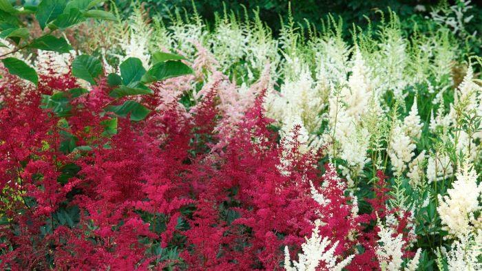 Till de allra bästa växterna att samplantera med lökar hör astilbe. Lagom till när narcisser och tidiga tulpaner blommat ut täcker de marken med sina läckra bladverk. Under högsommaren blommar de själva förtjusande. Finns i många arter och sorter. På bilden syns 'Rotlicht', 'Irrlicht' och 'Bressingham Beauty'.