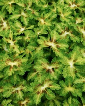 Brunnäva, Geranium phaeum 'Springtime'