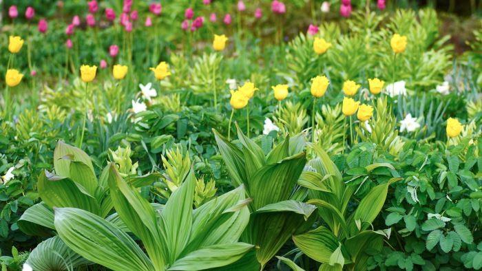 Det är mycket som händer på en gång i den här tavlan. Förutom tulpaner i blom har svart nysrot Veratrum nigrum slagit ut sina ståtliga, veckade blad. Strax bakom håller kejsarkronan fritillaria imperialis 'Rubra Maxima' på att utvecklas tillsammans med bladen på en pimpinell, Sanguisorba, som i samarbete med andra växtkompisar snart kommer att täcka tulpanernas vissnande blast.
