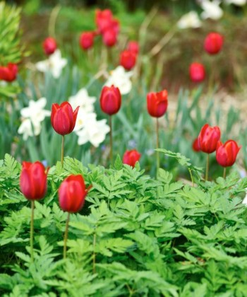 Med senblommande vårlökar kan charmiga kombinationer skapas där själva lökens blommor sticker upp ur perennernas spirande grönska. Vad som passar ihop får man pröva sig fram till. Här står sena tulpaner mellan ännu unga blad av astilbe.