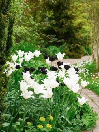 Hemma hos oss förskönar tulpanerna 'Queen of Night' och 'White Triumphator' tillvaron på senvåren. Om några veckor skulle de se skräpiga ut om inte jättedaggkåpa och kantnepeta 'Walker's Low' snart täckte blasten.