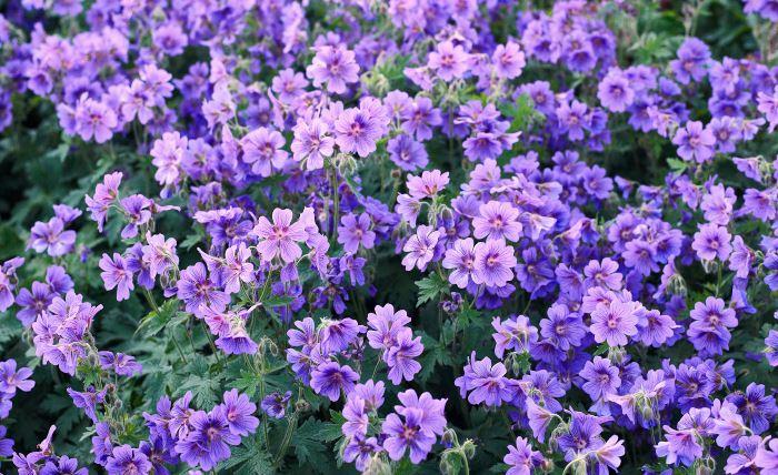 En tjusig blomma som fungerar bra tillsammans med hyggligt tidiga lökar, täcker marken förträffligt och är robust och lättskött är kungsnäva Geranium × magnificum. Passar bra i sol eller halvskugga. Blommar endast en gång men under flera veckor i juni–juli. Härdig.
