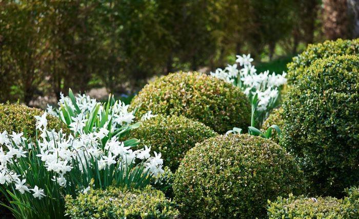 Ett annat sätt att dölja vissnande lökar är att kombinera dem med buxbomsklot. Visserligen syns delar av blasten även efter blomning, men de starka formerna hos kloten kommer att dominera, fånga blick och medvetande hos betraktaren.