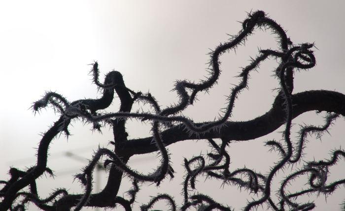 Med iskristaller på de nakna, vridna grenarna blir ormhasseln, Corylus avellana 'Contorta', än mer trolsk en av vinterns första dagar.