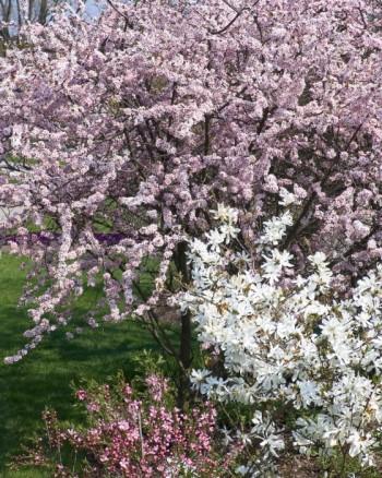 Även vedartade växter kan bjuda på storartad blomning. Här syns en kombination med ger associationer till fluffiga gräddbakelser av prydnadskörsbär, stjärnmagnolia, Magnolia stellata, och tibast, Daphne Mezeurom. Bild från Bergianska trädgården.