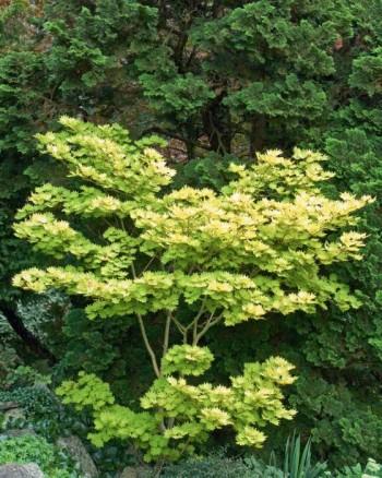 Japansk gyllenlönn, Acer shirasawanum 'Aureum'