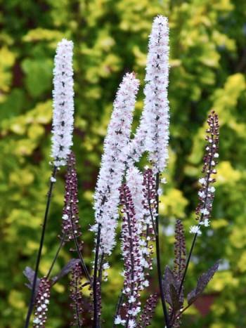 Höstsilverax, Cimicifuga simplex 'Brunette', är en stilig perenn som blommar med ljuvligt doftande spiror sent på hösten. Den kan bli upp emot två meter hög och har ett mörkrött bladverk som gör den synnerligen attraktiv även innan blomning.