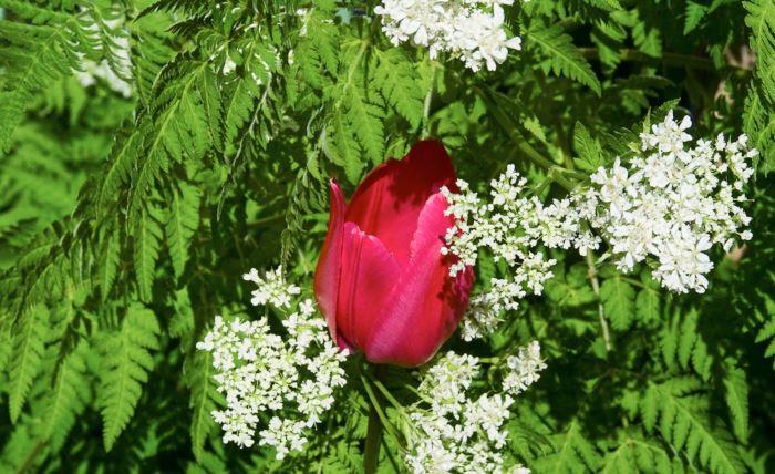 Det gör ingenting om storvuxna perenner ibland hinner ikapp lökarna, det blir mest bara charmigt. Växten med de vackra bladen är örten spansk körvel Myrrhis odorata i vilken en röd tulpan försöker sticka fram huvudet.