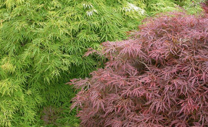 Flikbladig japanlönn, Acer palmatum 'Dissectum Garnet'