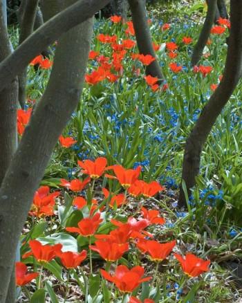 Tidigt blommande tulpaner och scilla breder ut sitt sköna flor mellan trädstammarna längs Åpromenaden i Enköping. Längre fram på sommaren växer perenner upp här och döljer de vissnande lökväxterna med sina blad.