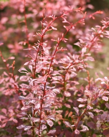 Brokberberis, Berberis thunbergii 'Pink Queen'