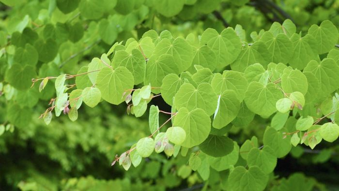 Katsura, Cercidiphyllum japonicum
