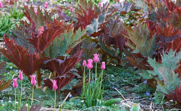 Vill man kunna odla många, och kanske stora, lökväxter utan att de syns när de vissnat ner kan man välja kraftiga och storbladiga perenner som röd flikrabarber, Rheum palmatum var. tanguticum till partner. Tulpanen heter 'Lilac Time'.