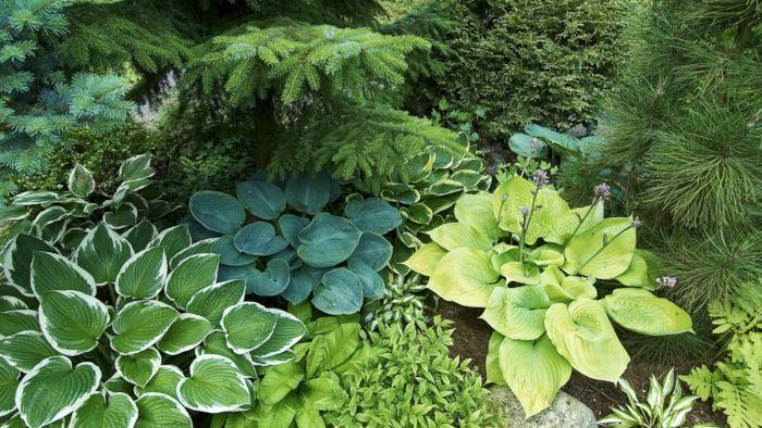 Funkior, Hosta, är tacksamma och eleganta bladväxter som finns i olika storlekar och många läckra bladfärger.Med funkior av olika sorter går det att skapa effektfulla kombinationer.