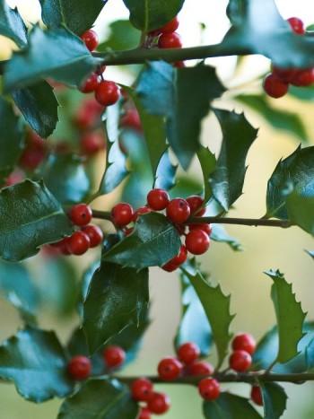 Blå järnek, Ilex meserveae ger med sina städsegröna blanka blad grönska även under vintern. Ser man till att plantera både en hon- och en hanplanta, eller den nya tvåkönande sorten 'Blue Maid', får man också de vackra röda bären som sitter kvar på busken över vintern. På bilden syns honplantan 'Blue Angel'. Härdiga till zon 4.