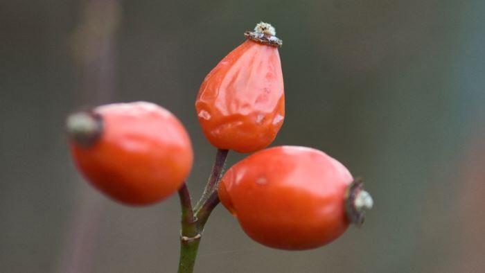 Många rosor ger fina nypon som lyser upp den mörka årstiden. Röda bär på blå järnek, Ilex x meserveae eller eldtorn, Pyracantha coccinea, ger en liknande effekt.