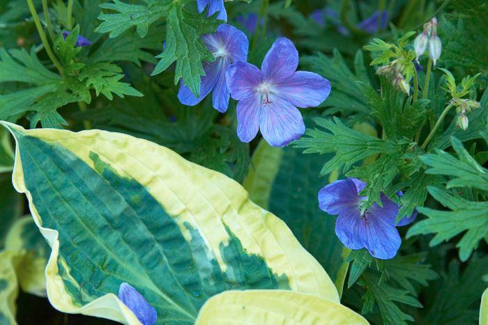 Blånävan, Geranium, 'Johnson's Blue' blir översköljd av intensivt blå blommor i slutet på juni. Hemma i vår egen trädgård har vi valt att kombinera den med funkia, Hosta, 'Wide Brim' som ger en läcker kontrast i både färg och form. Det här är en kombination som blir bäst i halvskugga eftersom funkians blad riskerar att bli brända om de får för mycket sol på sig. Numera brukar man rekommendera den nyare sorten G. 'Brookside' som är av samma typ som 'Johnson's Blue' men blommar längre.