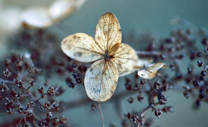 Vipphortensian, Hydrangea paniculata Floribunda', bjuder på skönhetsupplevelser även efter blomningen på hösten. Torkade blommor sitter kvar långt in på vintern och pryder trädgården med sitt försynta silkespappersaktiga utseende.