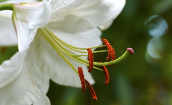 Orientlilja, Lilium 'Casa Blanca'