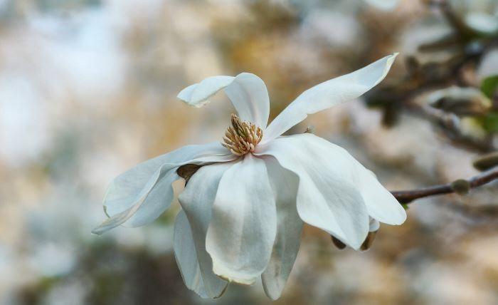 Magnolia × loebneri 'Merrill'