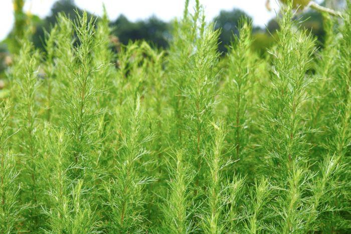 Åbrodd, Artemisia abrotanum