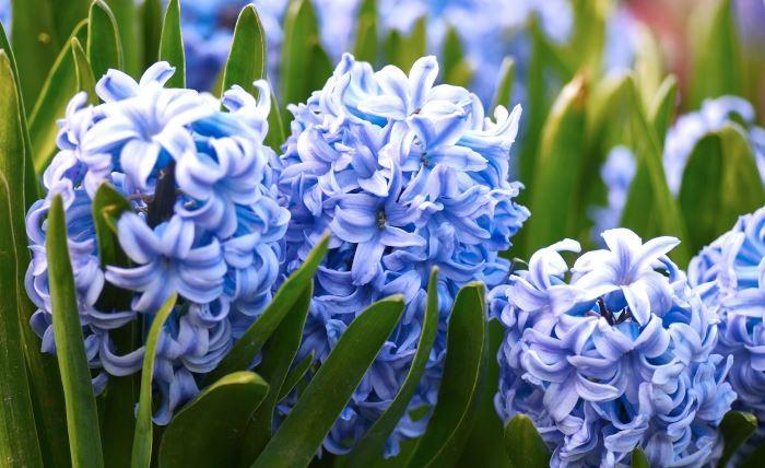 Hyacint, Hyacinthus orientalis 'Sky Jaket'