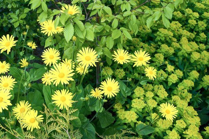 Ton i ton i gult och grönt. Enfärgade rabatter kan göras med nästan vilken färg som helst. På bilden, från vår egen trädgård i Uppland, syns nyligen vårutsprungna blad av pelaravenbok, Carpinus betulus 'Frans Fontaine', omgivna av gulblommande stor vårkrage, Doronicum plantagineum. Till höger syns den något blekare gula gulltöreln, Euphorbia polychroma, som är på sluttampen av sin blomning. Några kvistar från gul klottuja, Thuja occidentalis 'Golden Globe', sticker fram i främre delen av bilden.