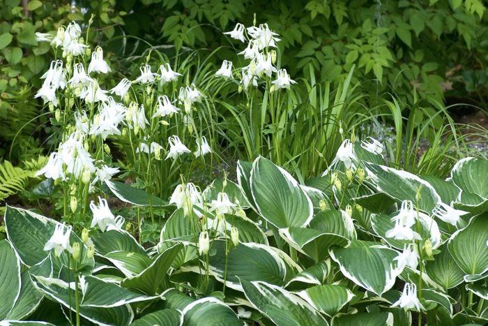 Trädgårdens vita färger lyser i skymningen och en bra bit in på ljusa sommarnätter. Vita aklejor, Aquilegia vulgaris, planterade bland frodiga tuvor av blomsterfunkia, Hosta fortunei 'Francee', förstärker båda växters skönhetsvärde genom att aklejornas vita färg effektfullt plockar upp funkians vita bladkanter. Bild från vår idéträdgård på Ulriksdal Flower Show 2004.