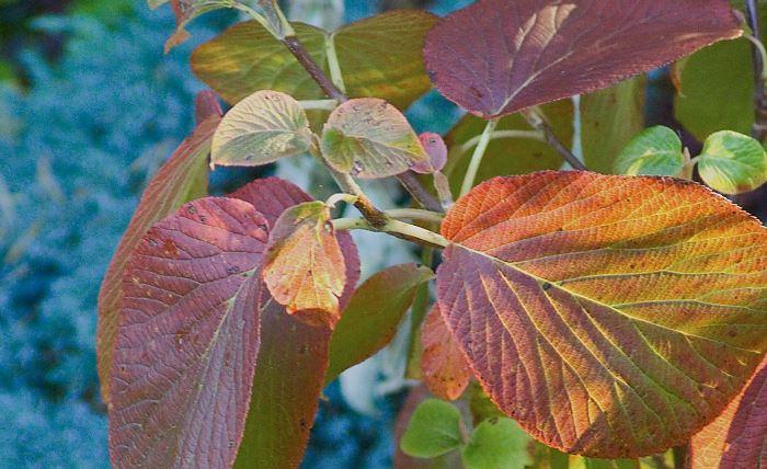 Japanskt gaffelolvon, Viburnum furcatum