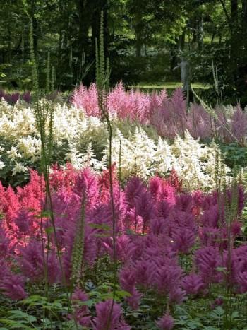 Stora fält av blommande astilbe i två rosa nyanser och vitt ger ett både storslaget och harmoniskt intryck i Sollidens Slottspark på Öland. Trivs i fuktighetshållande jord i vandrande skugga. I förgrunden utblommade spiror av vita silverax.