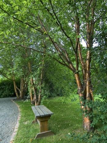 Näverhägg, Prunus maacki