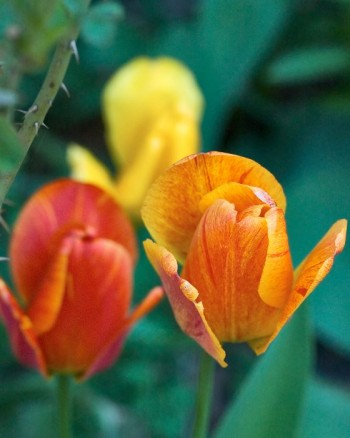 Starka färger i flammande gult, rött och orange kommer bäst till sin rätt i full sol.