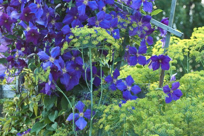 Ett fint exempel på hur en behagfull kontrastverkan kan skapas med två komplementfärger genom att den ena färgen får uppträda i svagare intensitet. Den kraftigt blålila klematisen skapar en betydligt lugnare kontrast gentemot de blekgula dillblommorna än den skulle göra mot starkt gula blommor. Bild från koloniområdet Lupinen i Märsta, Uppland.