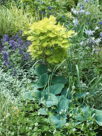 Vitblommande brunnäva, Geranium phaeum 'Album'. med daggfunkia, Hosta sieboldiana 'Elegans' och japansk gyllenlönn, Acer shirasawanum 'Aureum' bakom. Vitmalört, Artemisia ludoviciana 'Silver Queen' till vänster.
