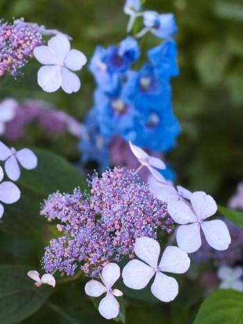 I den ljuvliga sammetshortensians, Hydrangea aspera ssp.sargentiana, små fertila mittblommor återfinner man stråk av riddarsporrens blå färg. Att placera växter som fångar upp nyanser av varandras färger bredvid varandra är ett bra sätt att skapa vackra kombinationer.