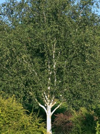 Himalajabjörk, Betula utilis var. jacquemontii 'Doorenbos'