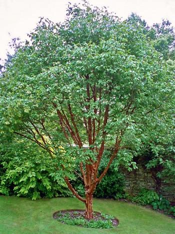 Kopparlönn, Acer griseum